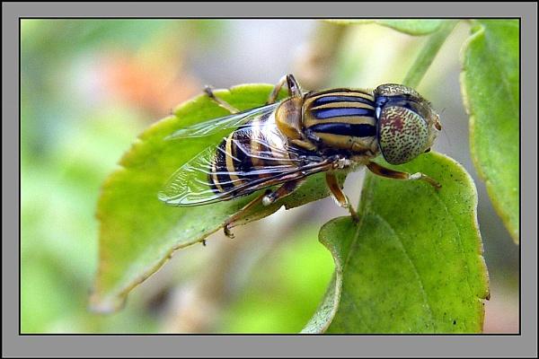 Horse Fly ? by prabhusinha