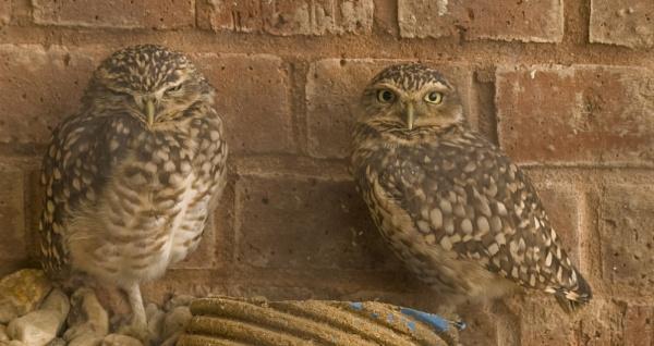 Burrowing owls by andybebbs