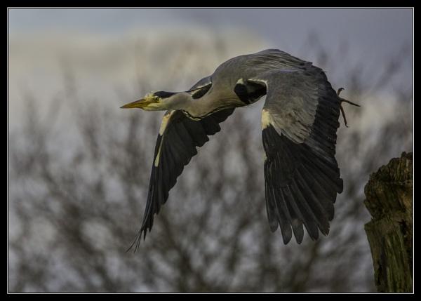 Heron in Flight by esoxlucius