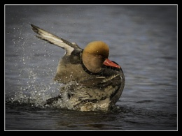 Pochard bath time