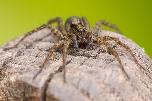 Wolf Spider - Pardosa amentata by Mendipman