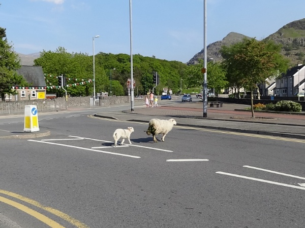 Who needs Zebra or Pelican Crossings when you have sheep