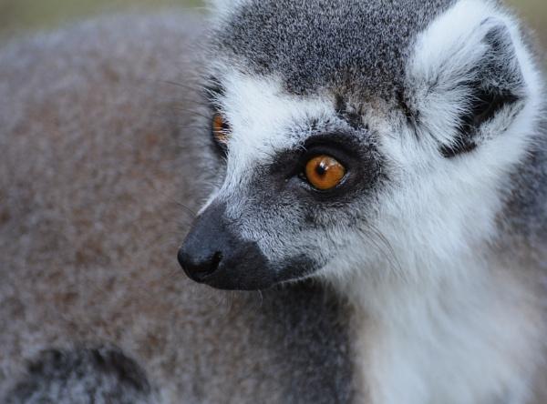 Lemur by gwynn56