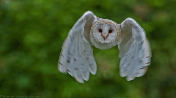 Barn Owl in light by brian17302