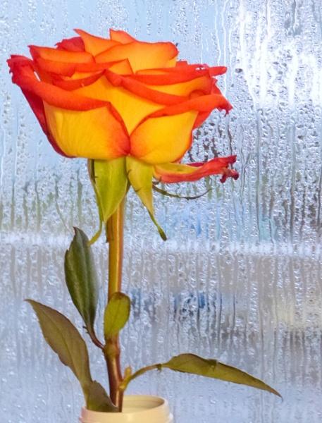 RAINY ROSE by tonyguitar
