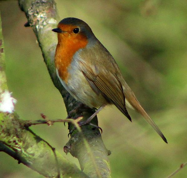 Robin by micksurrey