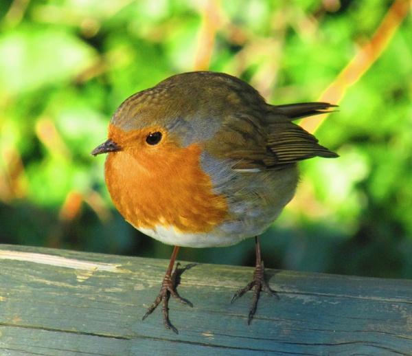Robin 2 by micksurrey