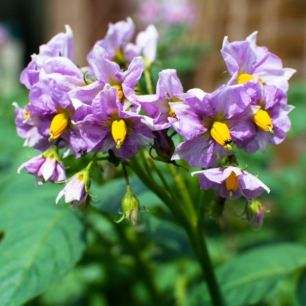 Potato Flowers by Nikonuser1