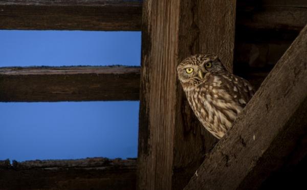 Night owl 2 by GoranStamenkovic