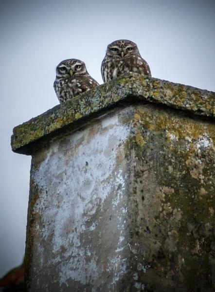 Owls by GoranStamenkovic