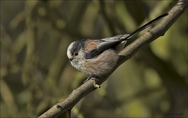 Long Tailed Tit (1) 2016 by ade123