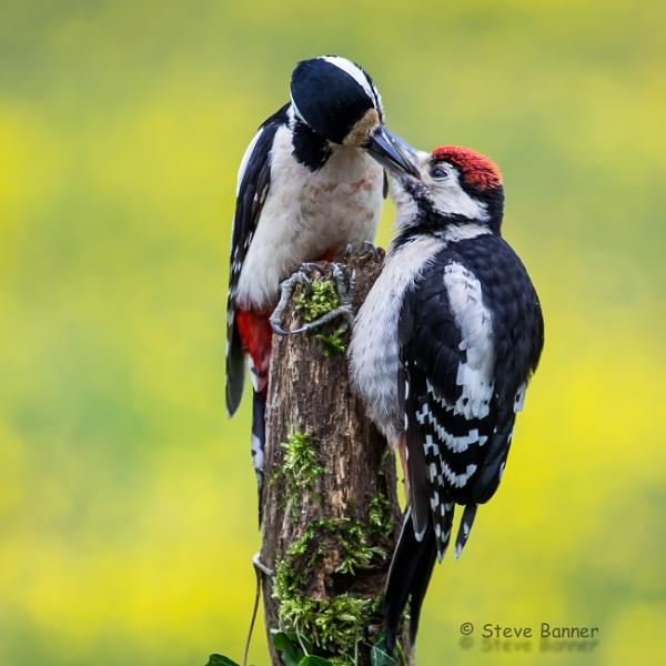 Woodpeckers by Stevetheroofer