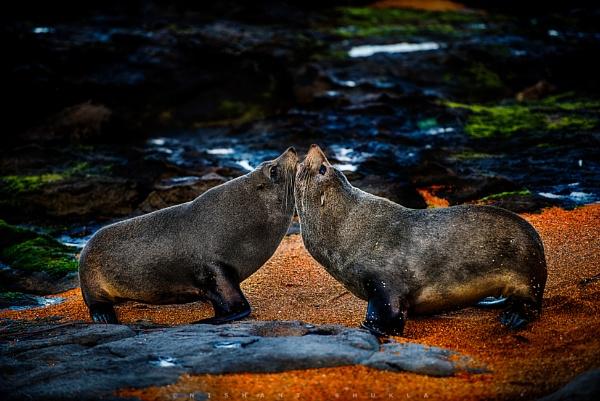 Sea Lions. by nishant101