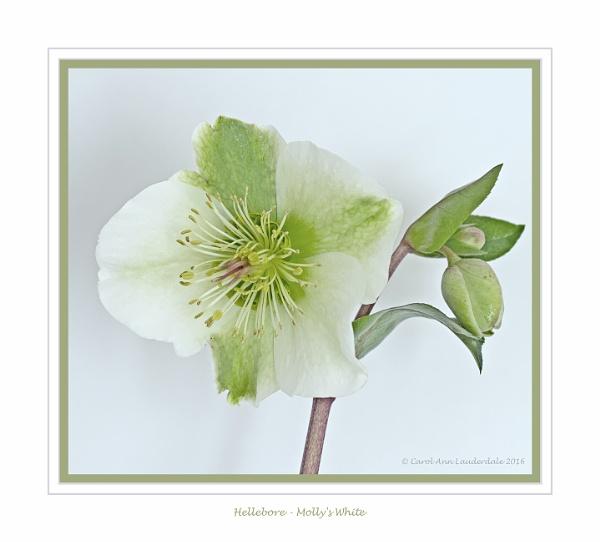Hellebore - Molly\'s White 2 by CarolAnnLauderdale