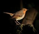 Sunlit Robin