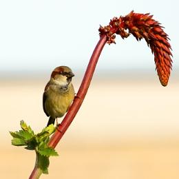 Sparrow on Melianthus Major.