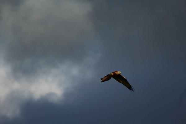 Red Kite by Valkaari