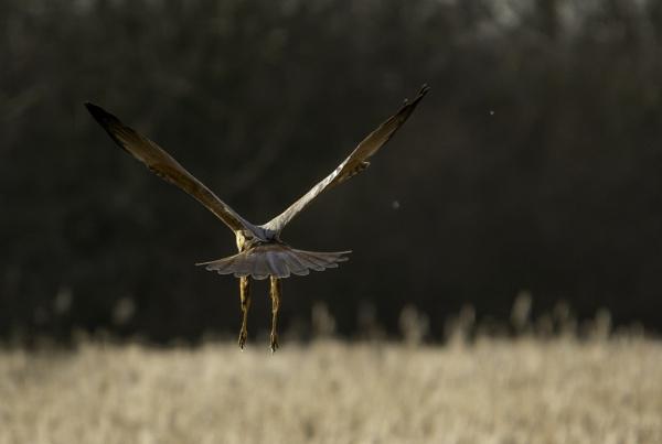 marsh harrier hunting by madbob