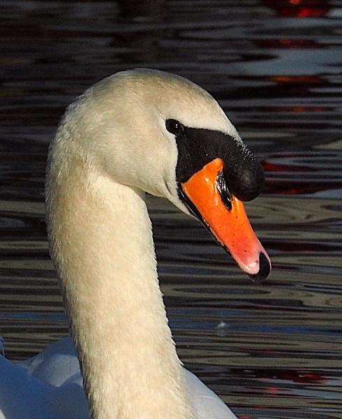 Swan Portrait by chensuriashi