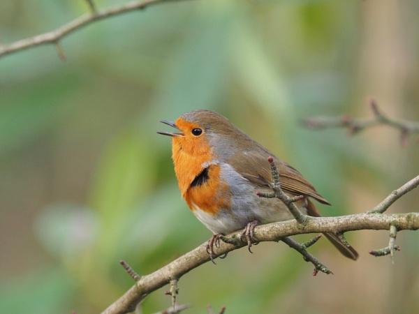 Singing Robin by chensuriashi