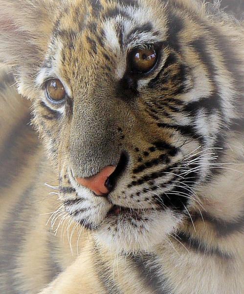Tiger Cub by crookymonsta