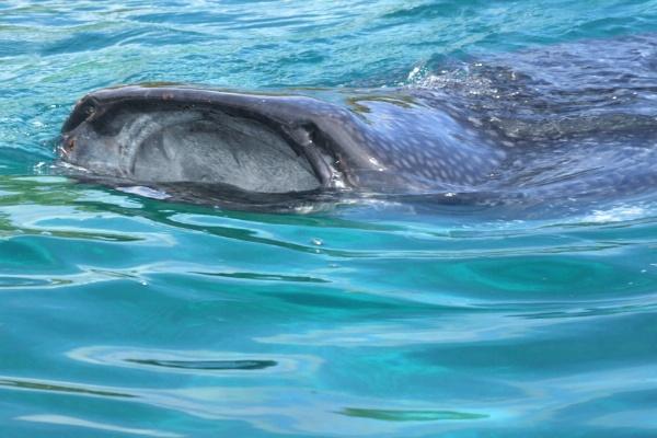 Whale Shark ! by GardenofEden