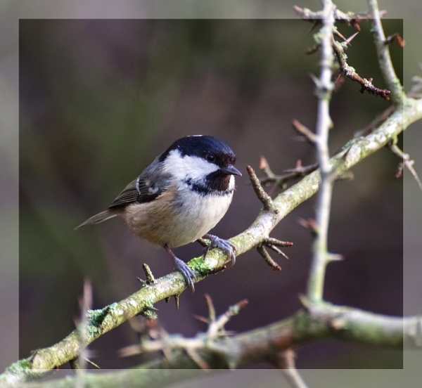 coal tit by ossca