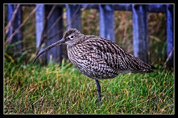 curlew resting by ossca