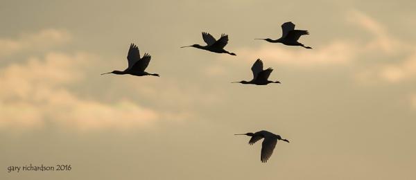 spoonbills at sunset.. by djgaryrichardson