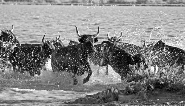 Raging bulls .. by Fred263