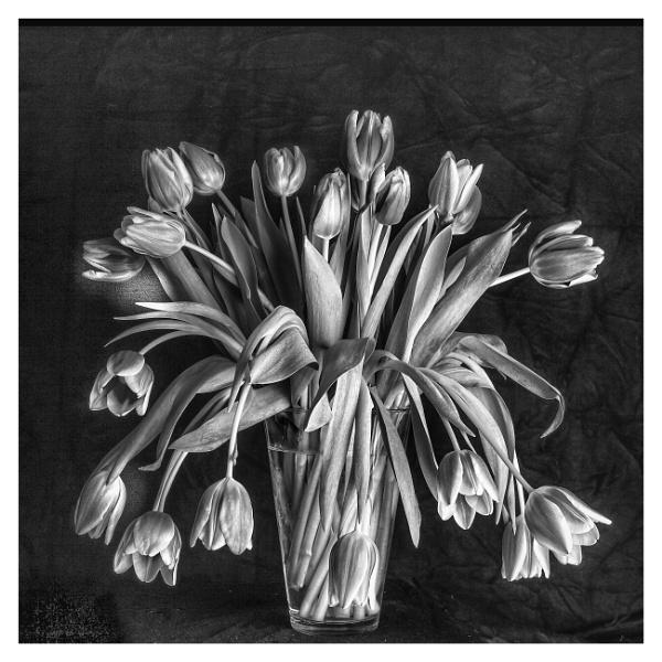 Mono Tulips by deavilin