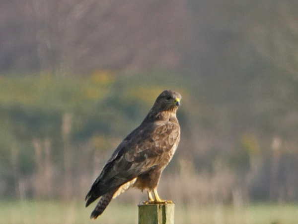 Buzzard by Ted447