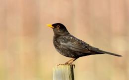 Blackbird (M) Turdus merula.