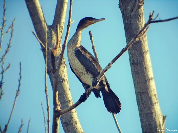 Great Cormorant (Phalacrocorax carbo) by idiabb