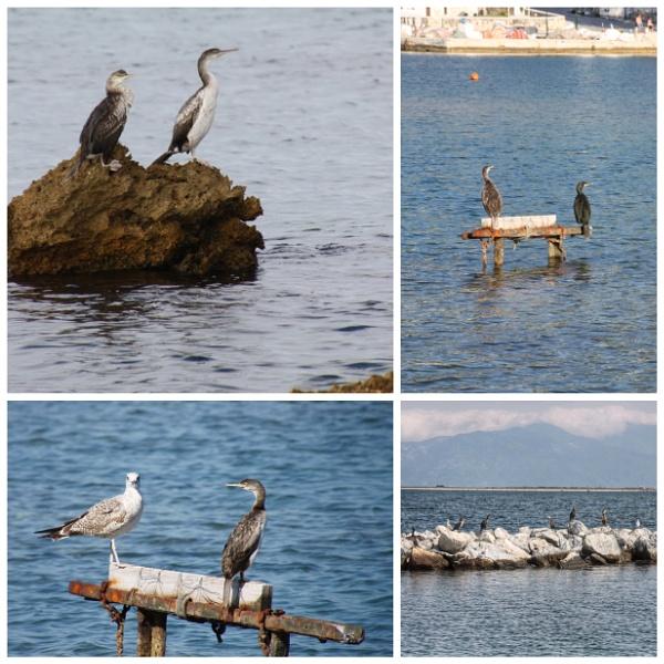 The common cormorant by jocas