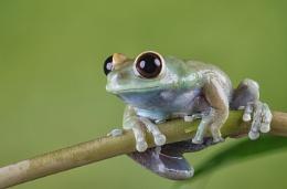 Globe Eye tree frog