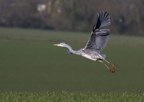 Heron by lawbert