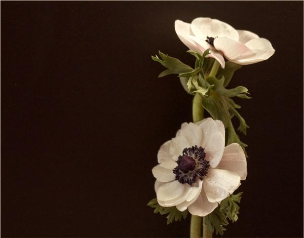 Pink Anemones by helenlinda
