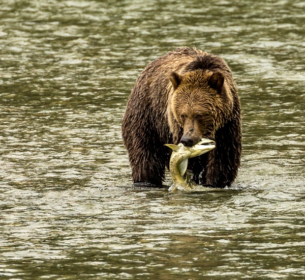 Grizzly fishing by allan47