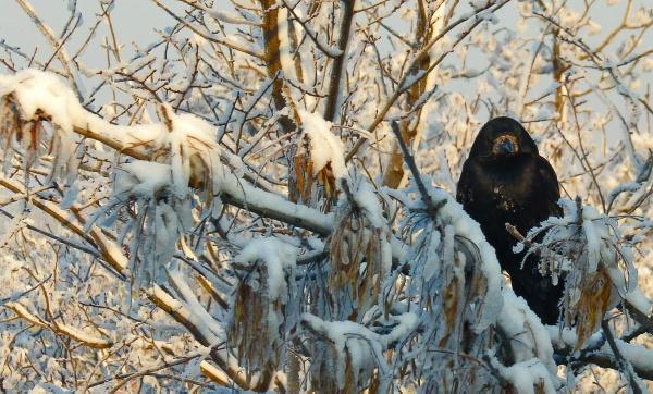 Dark Raven by marimea43