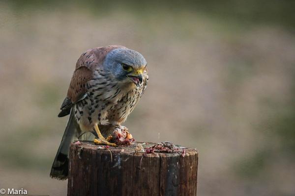 Kestrel Feeding by MariaElaine