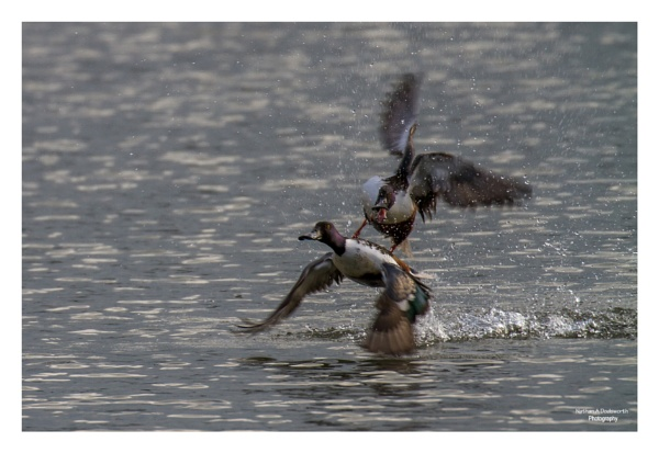 Aerial Combat - Northern Shoveler\'s by NDODS