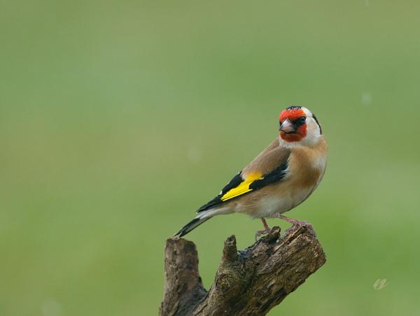goldfinch by senn