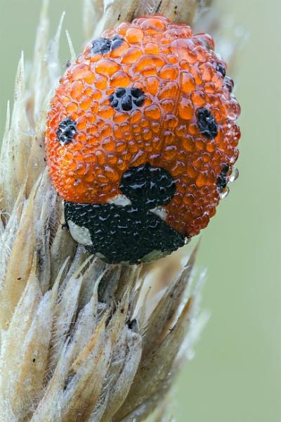 Seven Spot Ladybird - Coccinella septempunctata by Mendipman