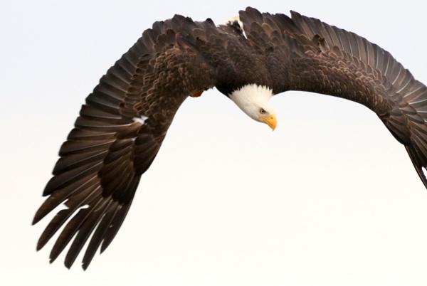 Eagle  Aim by tonyguitar