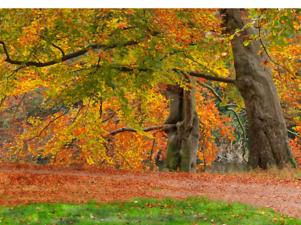 The Glorious Colour of Beeches by inkarts