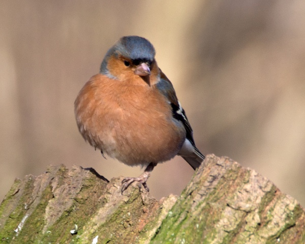 Male Chaffinch by bppowell