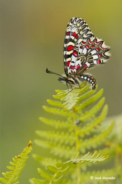 Spanish Festoon (Zerynthia rumina) by lord_macedo