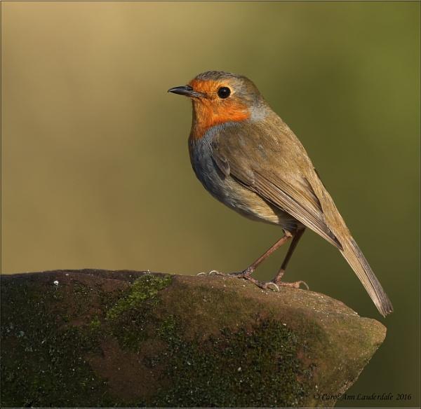 Robins by CarolAnnLauderdale