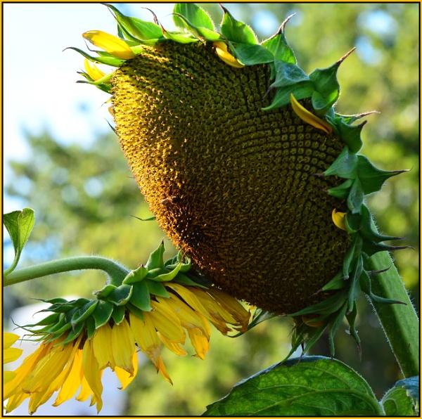 Sunflower heart. by Moebee
